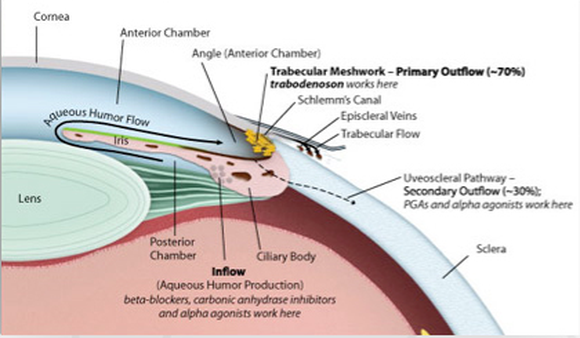 Eyeballanatomy Source Inotek