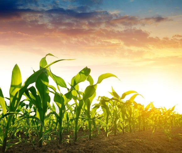 Green field of corn in sunset
