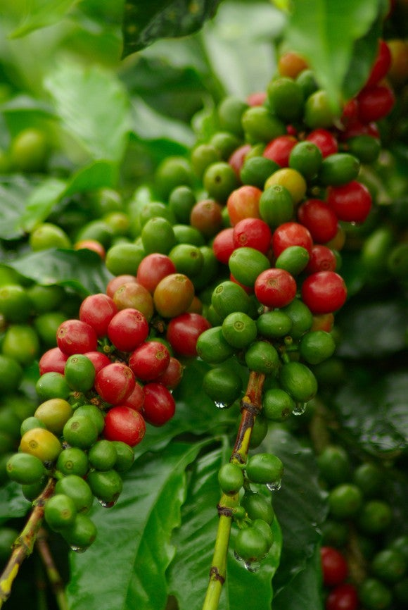 Coffee Cherries Getty