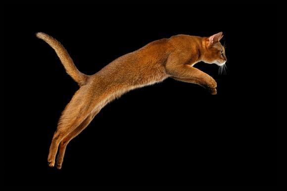 Jumping cat.