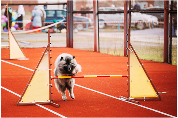 A dog jumping over a hurdle.