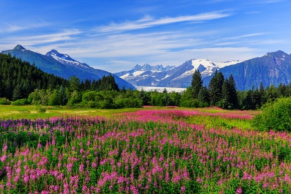 Mendenhall Glacier viewpoint with fireweed in bloom outside Juneau, Alaska