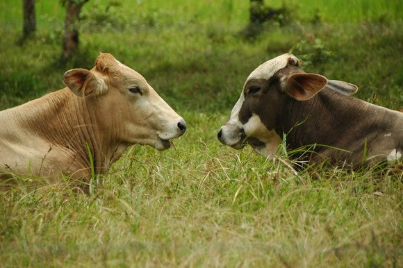 Two cows.