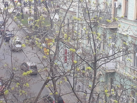 A tree with budding shoots on a street in Kiev