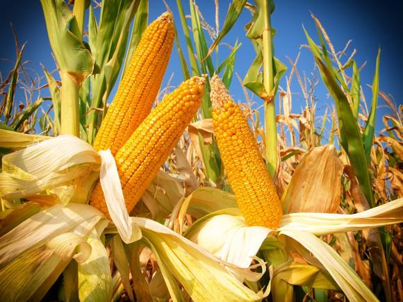 Closeup of a corn field.
