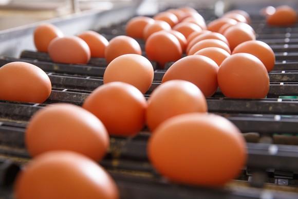 Fresh eggs on conveyor belt