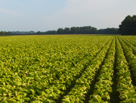 Tobacco field.