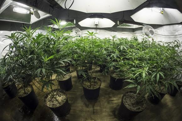 An indoor cannabis grow farm.