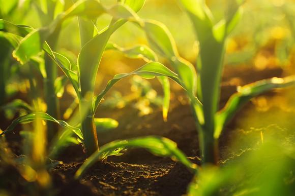 A corn field.
