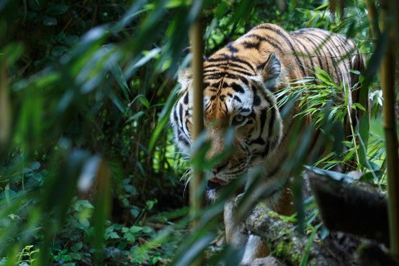 A tiger prowls through the jungle.