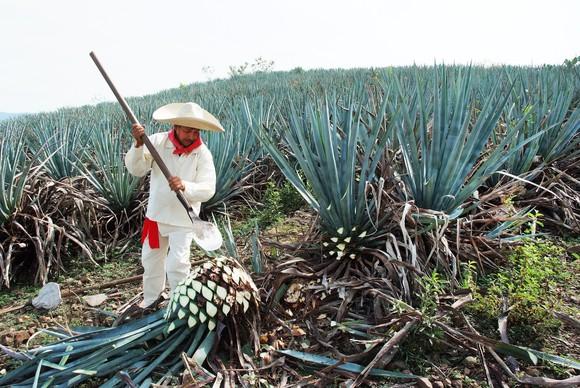 Agave cactus harvest