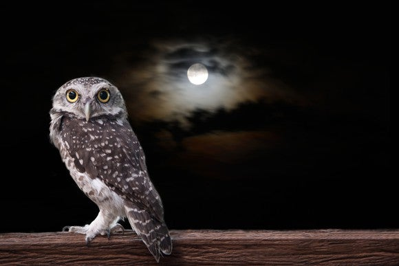 Owl standing on timber in the night under a full moon.
