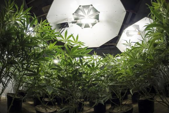 An indoor cannabis grow farm under intense lighting.