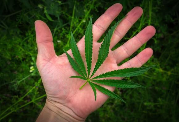 Marijuana leaf on a hand.