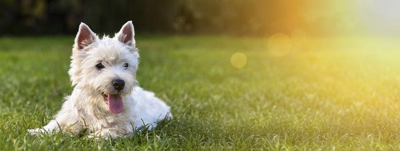 A small white dog lays happily on the grass in the sun.