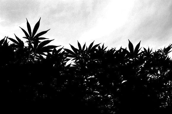 Silhouette of marijuana plants