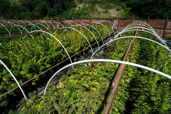 An outdoor commercial cannabis grow farm.
