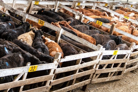 Cattle crammed into holding bins on an industrial farm.