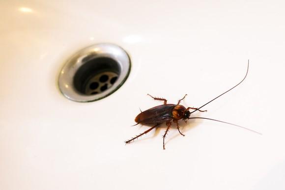 Cockroach in a sink