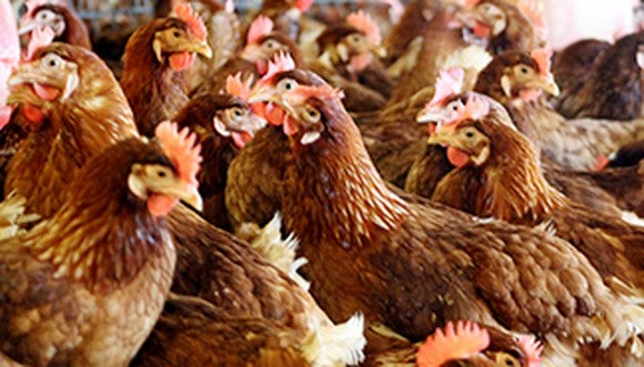 A flock of brown egg-laying hens.