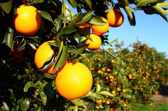 Florida oranges on the tree