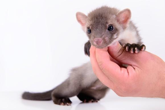 Weasel in hand