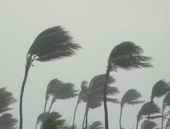 Palm trees being blown in a strong hurricane wind.