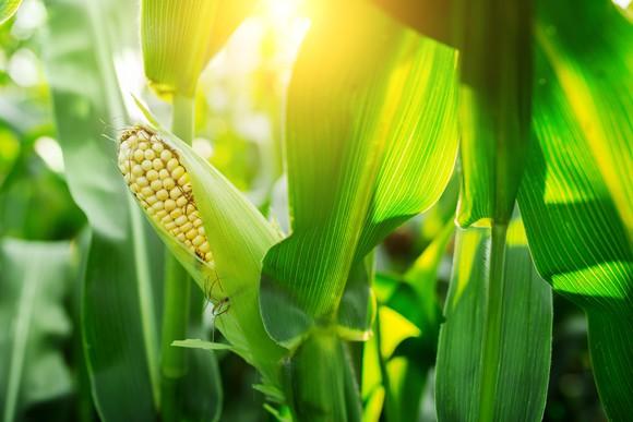 Ripe cob on corn stalk