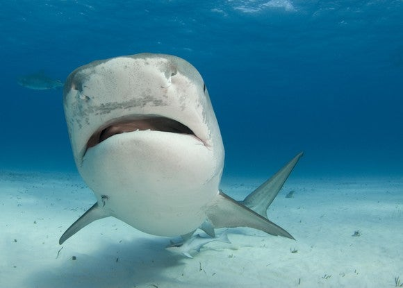 A shark swimming towards the camera.