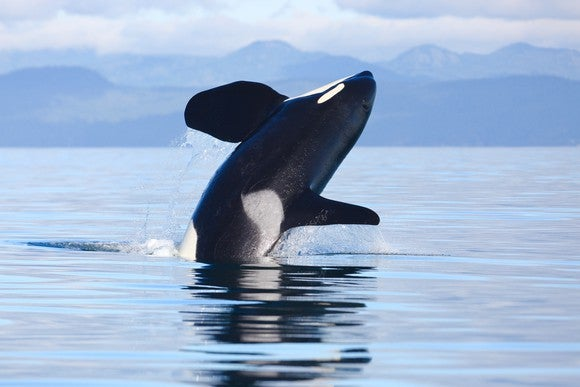 Picture of a killer whale jumping in the ocean