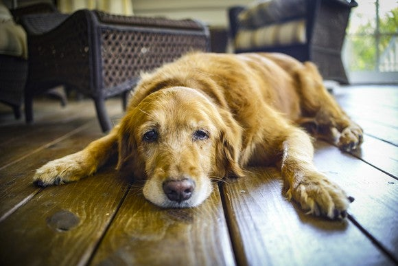 Golden retriever on the ground looking sad