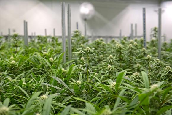 An indoor cannabis grow farm under lights.
