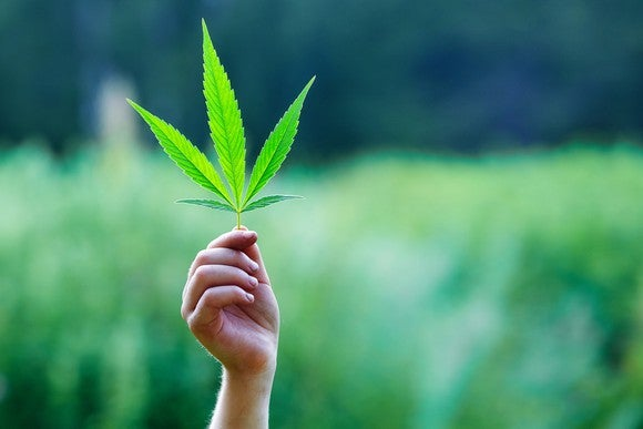 A person's hand holds a marijuana leaf up in the sky in a field of marijuana.