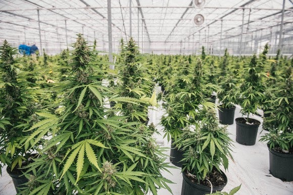 Marijuana growing in pots in a greenhouse.