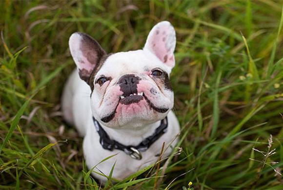 A bulldog in a patch grass.