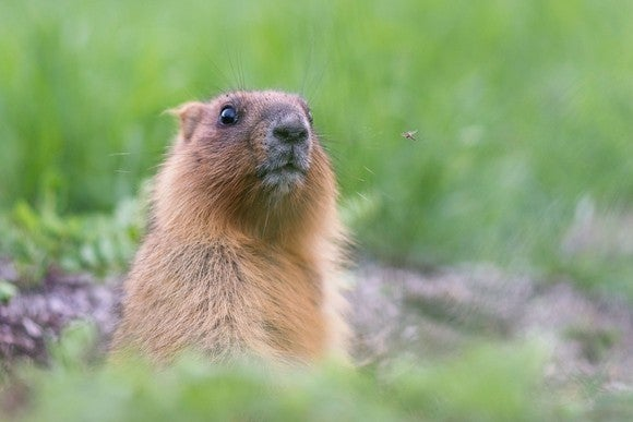 A groundhog in a field.