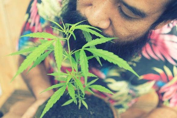 A man smelling the cannabis leaves from a potted plant.
