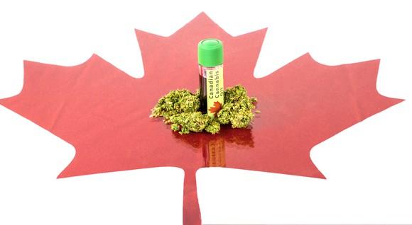 Brotes de marihuana y una botella de aceite de CBD en la parte superior del recorte de la hoja de arce roja canadiense
