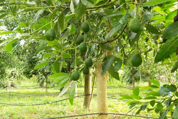Avocados growing on a tree.