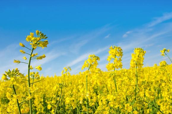 A field of oil rapeseed.