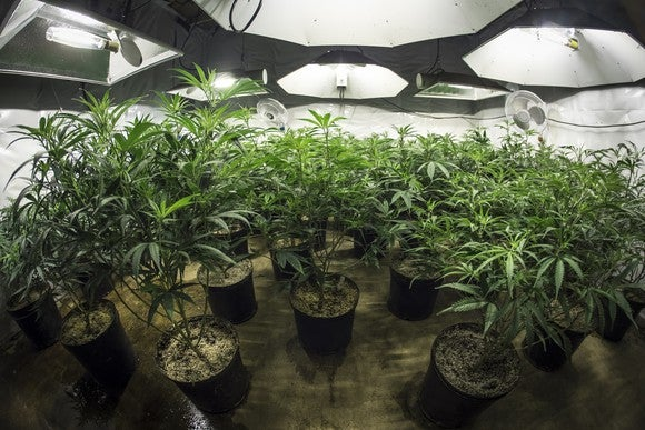 An indoor commercial cannabis grow facility under specialized lighting.