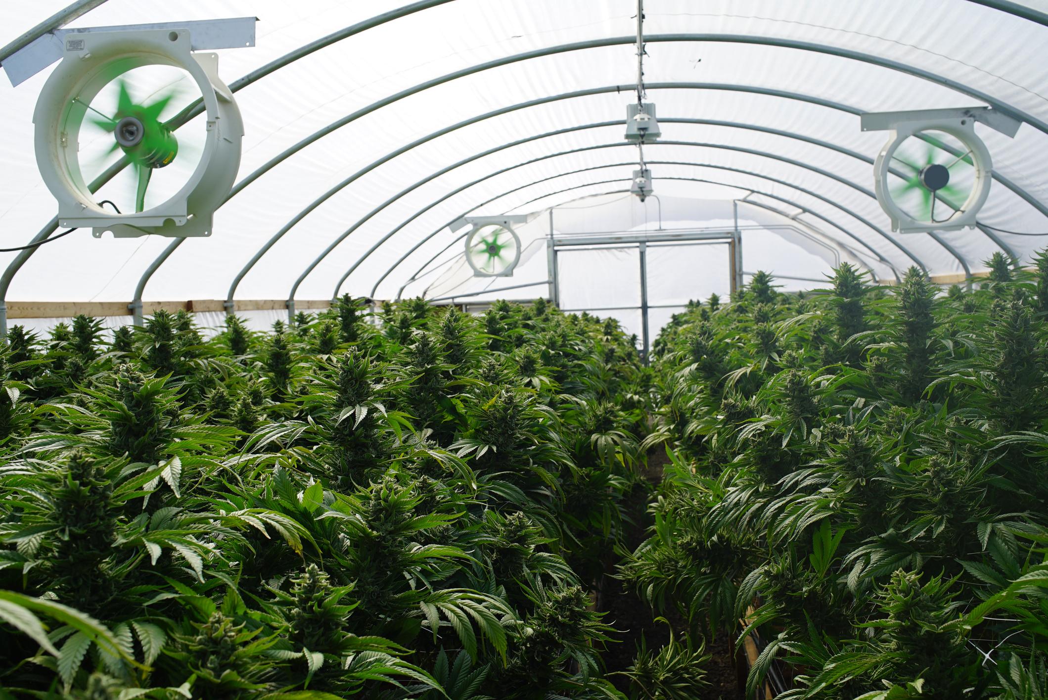 Оранжереи марихуаны как подготовить коноплю к употреблению
