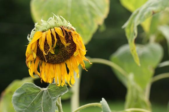 Wilting sunflower.