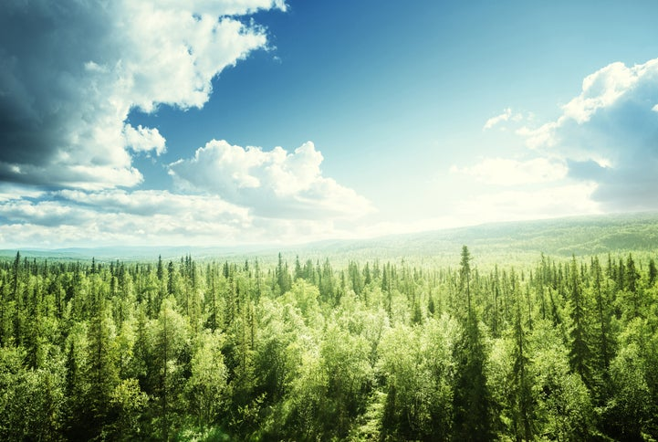 A pine forest.