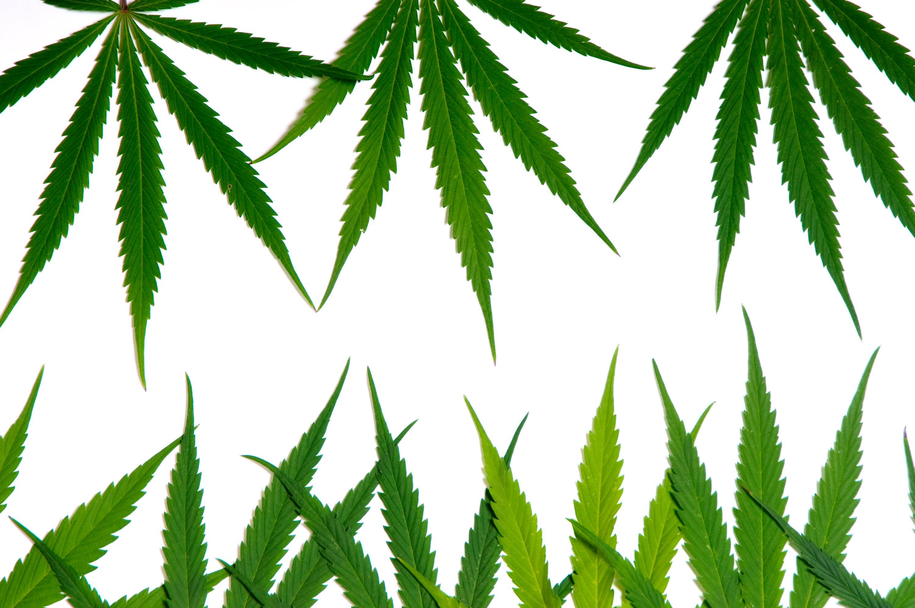 It's Now Abundantly Clear: Canopy Growth Is in a Different League From Aurora Cannabis | The Motley Fool