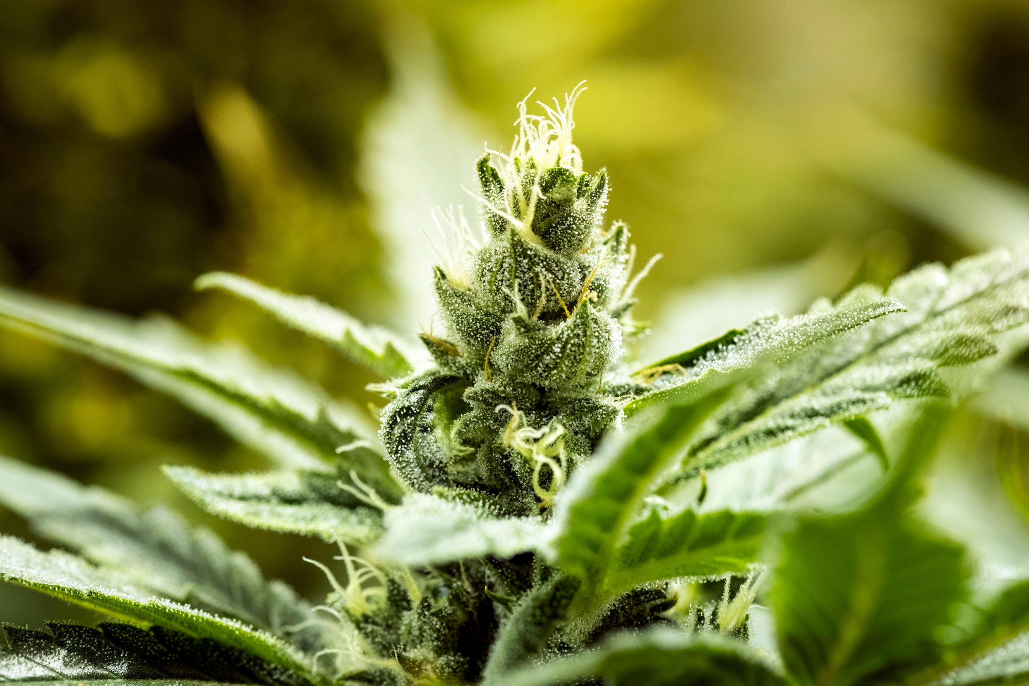 3 Reasons Aurora Cannabis Investors Should Be Optimistic for the Future | The Motley Fool