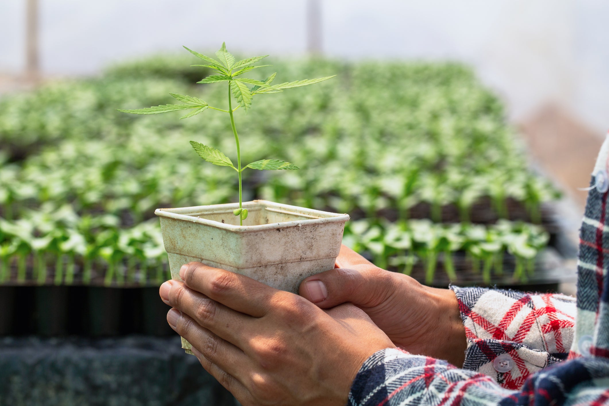 Better Cannabis Stock: Aurora Cannabis or Canopy Growth?