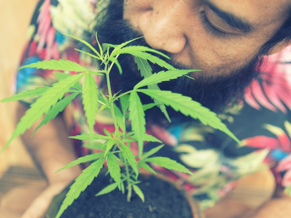 Man Holding and Smelling Marijuana Cannabis Weed Pot Plant Getty