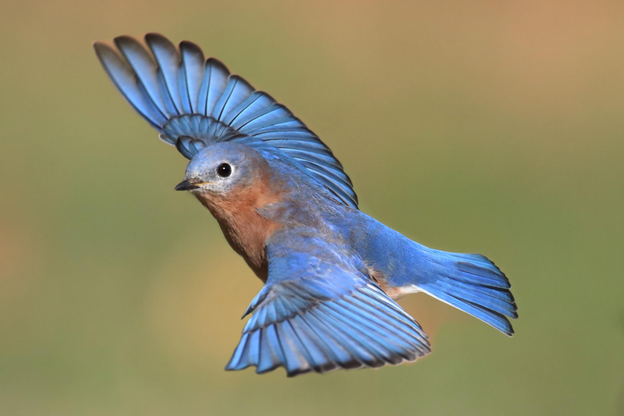 A bluebird