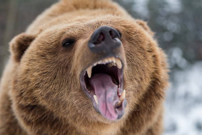 Bear with mouth open.
